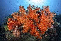 Colorful red corals on reef — Stock Photo