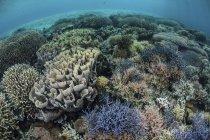 Farbenfrohe Korallen gedeihen im flachen Wasser — Stockfoto