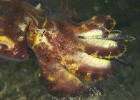 Colorful flamboyant cuttlefish closeup headshot — Stock Photo