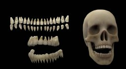 3D rendering of human teeth and skull on black background — Stock Photo