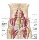 Anatomía de la iliopsoa con músculos dorsales de la cadera - foto de stock