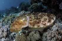 Sepia broadclub flotando por encima del arrecife de coral - foto de stock