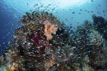 Рыбы, плавающие над здоровым коралловым рифом — стоковое фото