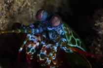 Pfau-Gottesanbeterin-Garnele auf Korallenriff — Stockfoto