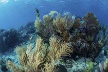 Gorgonias con corales de arrecife en arrecife - foto de stock
