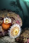 Anemoni su massi e alghe — Foto stock