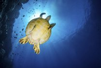 Sea turtle with remora swimming by reef — Stock Photo
