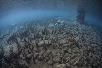 Mangrove roots rising from shallow seafloor — Stock Photo