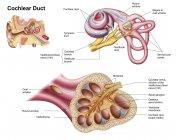 Анатомія кохлеарних протоки в людське вухо — стокове фото