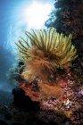 Crinoïde accroché à la pente du récif corallien — Photo de stock