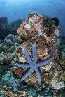 Estrella de mar aferrada al arrecife - foto de stock