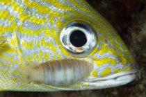 Isópodo parásito en peces gruñidos - foto de stock