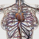 Medical illustration of female breast arteries, veins and lymphatic system — Stock Photo