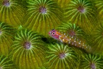 Pigmeo goby cerca de coral verde - foto de stock