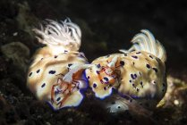 Nudibranchs with emperor shrimps on backs — Stock Photo