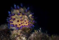 Janolus nudibranch on reef — Stock Photo