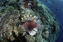 Lionfish swimming over reef — Stock Photo