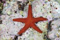 Red starfish clinging to coralline algae — Stock Photo