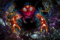 Olivar squat lobster in hole — Stock Photo