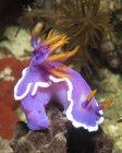 Hypselodoris sp nudibranches closeup shot — Stock Photo