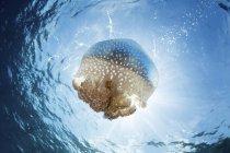 Méduses à points blancs près des petites îles de la Sonde — Photo de stock