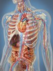 Transparent human body showing heart and main circulatory system with internal organs, nervous, lymphatic and circulatory systems — Stock Photo
