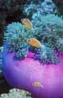 Anemonefish cerca de la anemona púrpura - foto de stock