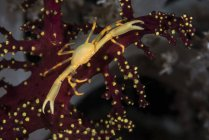 Corona gialla granchio primo piano colpo — Foto stock
