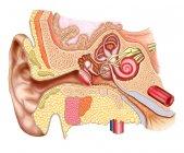 Ilustración médica de la anatomía del oído humano - foto de stock