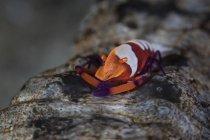 Colorful emperor shrimp on sea cucumber — Stock Photo