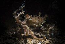 Chasse poulpe anneau bleu — Photo de stock