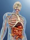 Cuerpo humano transparente con órganos internos, sistemas nervioso, linfático y circulatorio - foto de stock