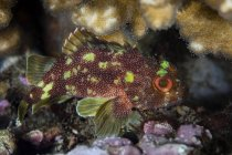 Escorpión moteado amarillo en el arrecife - foto de stock