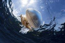 Águas-vivas à deriva perto da superfície da água — Fotografia de Stock