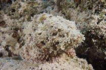 Scorpionfish tacheté juvénile — Photo de stock