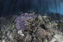 Corales creciendo al borde del bosque de manglares - foto de stock