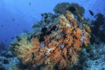 Soft coral colonies on reef — Stock Photo