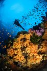 Diver swimming over soft coral reef — Stock Photo