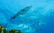 Great barracuda swimming above coral reef — Stock Photo