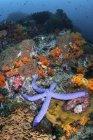 Синие морские звезды цепляются за риф — стоковое фото