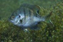 Bluegill hovering over green bottom — Stock Photo