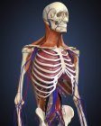 Human upper body with bones, lungs and circulatory system — Stock Photo