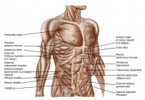 Anatomy of human abdominal muscles with labels — Stock Photo
