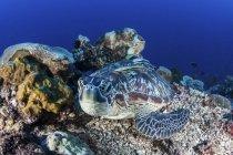 Tartaruga marina verde che posa sulla barriera corallina — Foto stock
