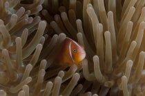 Pink anemonfish in host anemone, Фиджи — стоковое фото