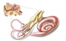 Anatomía del oído humano con laberinto membranoso - foto de stock