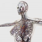 Medical illustration of arteries, veins and lymphatic system with heart — Stock Photo