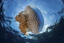 Jellyfish drifting near water surface — Stock Photo