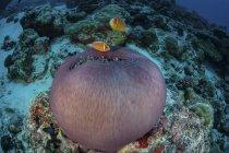 Pez payaso rosa nadando sobre anémona - foto de stock
