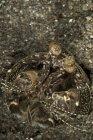Darder crevettes mantis dans terrier — Photo de stock